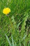 Dandelion. Royalty Free Stock Photo