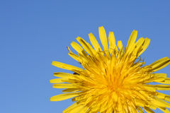Dandelion. This is a close up shot of dandelion flower, with blue sky in the background Stock Photography