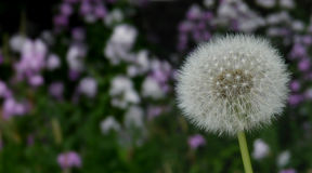 Dandelion. Gone to seed. Flower background stock images