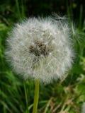 Dandelion. Wish royalty free stock photo