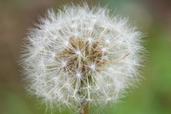 Dandelion. Close-up of dandelion seeds against a blurred background Royalty Free Stock Image