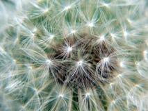 Dandelion. Spring, close-up dandelion, parashutes, flower Royalty Free Stock Photos