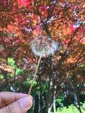 Dandelion obrazy stock