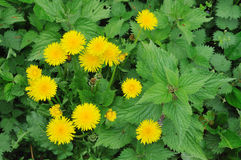 Dandelion. Grows in stinging nettle Stock Images