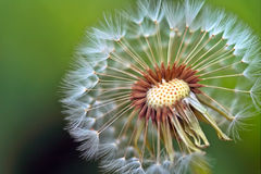 Dandelion. With seeds againts green grass Stock Images