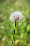 Dandelion. Close up of white blooming dandelion flower Stock Photo