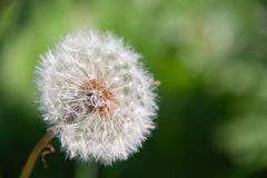 Dandelion. The picture of nature dandelion on the green background Royalty Free Stock Photos