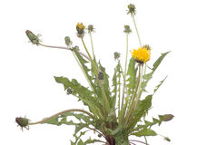 Dandelion. Green clump dandelion on white background Royalty Free Stock Photography