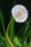 Dandelion. The picture of nature dandelion on the black background Royalty Free Stock Photo