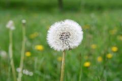 Dandelion. A downy dandelion in lawn Stock Photo