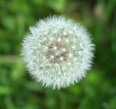 Dandelion. One dandelion with green background Stock Photography
