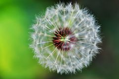 Dandelion. A dandelion in green and yellow background Royalty Free Stock Photography