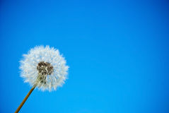 Dandelion. Against the blue sky Royalty Free Stock Photo