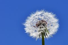 Dandelion. A Dandelion blowing seed in the wind Stock Photography