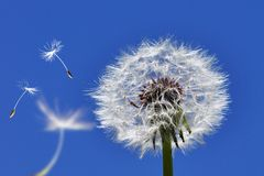 Free Dandelion Stock Photo - 14564700
