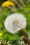 Dandelion. White dandelion blowball close up royalty free stock image
