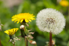Dandelion. Spring blowball on the green grass in the village close-up Royalty Free Stock Photography