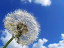 Dandelion. On a background of the sky Royalty Free Stock Photos