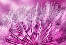 Dandelion. Pink abstract macro photo of dandelion royalty free stock photo