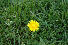 Dandelion. A dandelion in the grass with another weed on the way Stock Photography