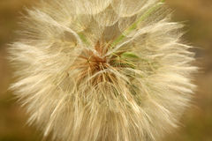 Dandelion. Close up of a dandelion Royalty Free Stock Image