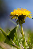 Dandelion. Flower in the field royalty free stock images