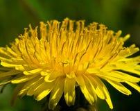 Dandelion. Flower in the field stock images