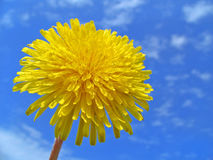 Dandelion. On a background of the sky Royalty Free Stock Image
