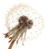 Dandelion. Single blooming dandelion, isolated on white Royalty Free Stock Photos