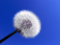Dandelion. Seedhead against the blue and clear sky Royalty Free Stock Images