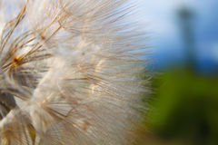 Dandelion. Macro photo of dandelion with green and blue background royalty free stock photos