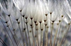 Dandelion. Macro photo of a dandelion Stock Photos