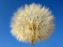 Dandelion. A dandelion against a blew sky royalty free stock image