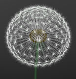 A dandelion. On gray background Royalty Free Stock Image