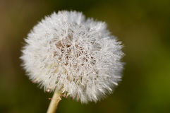 Dandelion. With drop of dew royalty free stock images