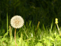 Dandelion. Is lighting up incident ray on a meadow Royalty Free Stock Image