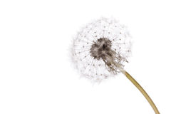 Dandelion. Closeup of flower isolated on white background, selective focus royalty free stock image