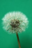 Dandelion. Seed,  ball,  dandelion,  flower,  macro,  white,   plant,  closeup,  fluffy,  soft,  delicate,  fragile,  beauty,   sow-thistle,green Royalty Free Stock Photography