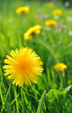 Dandelion. Closeup of a dandelion in a meadow of flowers Stock Images