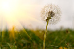 Dandelion Royalty Free Stock Images