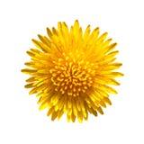 Dandelion. Yellow flower of dandelion isolated on white background royalty free stock image