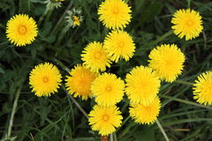 Free Dandelion Royalty Free Stock Photos - 19432888