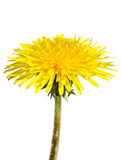 Dandelion. Royalty Free Stock Image