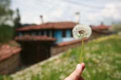 Dandelion. A hand holding dandelion on a old house background Royalty Free Stock Images