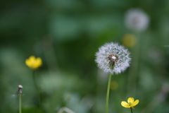Dandelion. A close up of a dandelion in a field of flowers Royalty Free Stock Photo