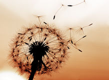 Dandelion. A Dandelion blowing seeds in the wind Stock Images