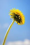 Dandelion. Yellow dandelion flower close-up isolated over blue sky stock photography
