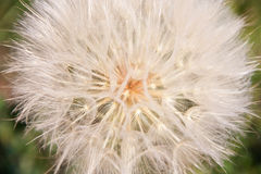 Dandelion. Beautiful dandelion at sunset closeup Stock Images