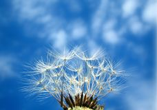 Dandelion. Dry dandelion on blue sky Stock Images