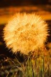 The dandelion stock photo